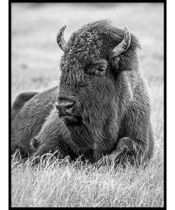 bizon amerykański plakat żubr plakaty czarno białe