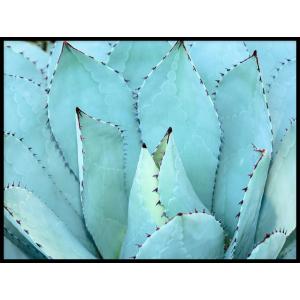 sklep z plakatami rośliny agawa
