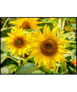 słoneczniki plakat do mieszkania